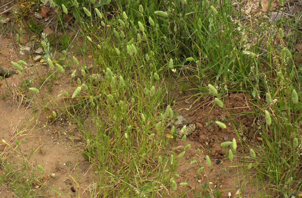 Phalaris Canariensis Phalaris - Canarygrass...