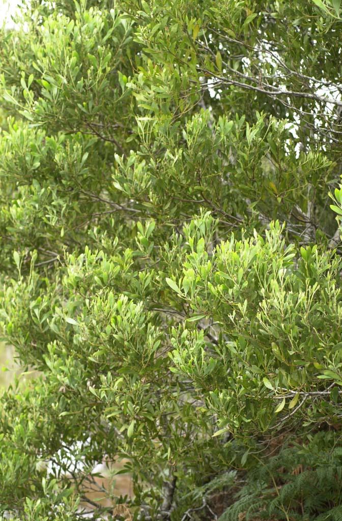 Acacia Melanoxylon Mudgerabah Discover Life