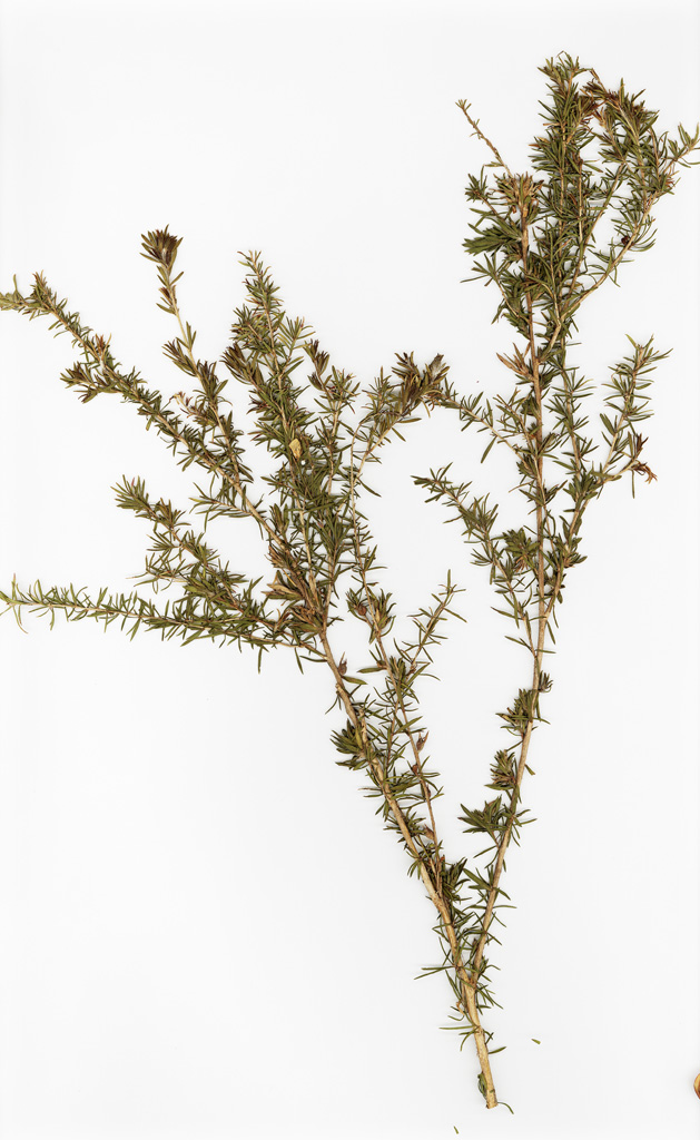 cymbopogon citratus how to grow