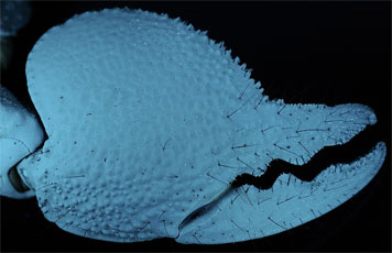 scorpion chela