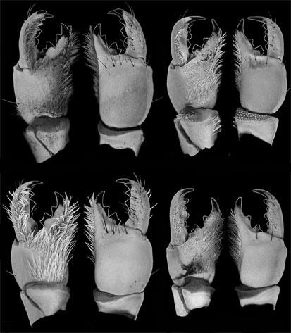 scorpion chelicerae