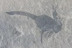 fossil scorpion