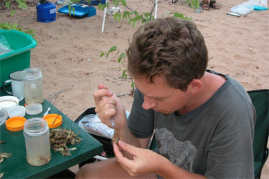 Lorenzo Prendini injecting scorpions