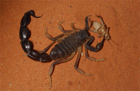 Why Scorpions? | Arachnology @ AMNH